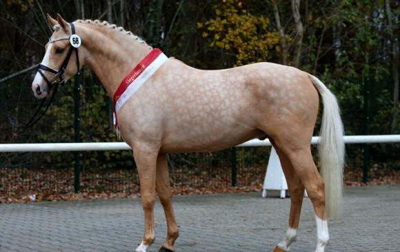 Siegerhengst NRW-Pony