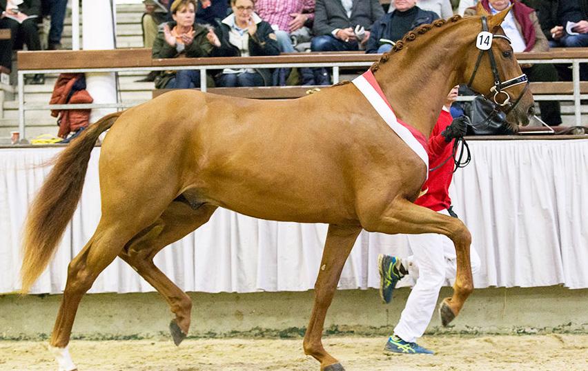 1. Reservesieger Westfälische Hauptkörung 2015 - Dimitroff